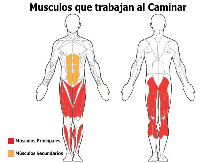 que musculos trabajan al caminar