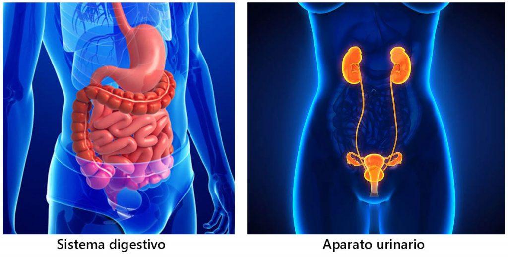 Sistema digestivo y aparato urinario
